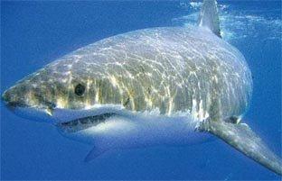 Un grand requin blanc captur dans le golfe d 39 ajaccio - Dessiner un requin blanc ...